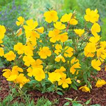 Oenothera Plant - Lemon Sunset