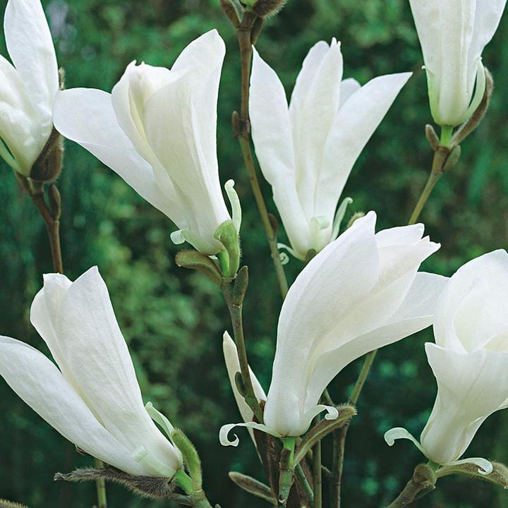 Magnolia Plant - Wadas Memory