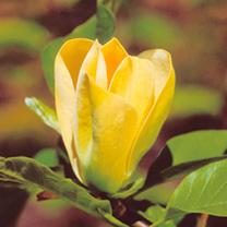 Magnolia Plant - Yellow Bird
