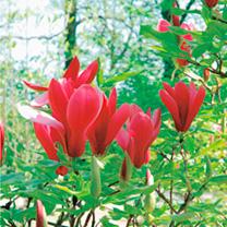 Magnolia Plant - Nigra