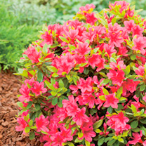 Rhododendron Plant - Yak Titan Beauty