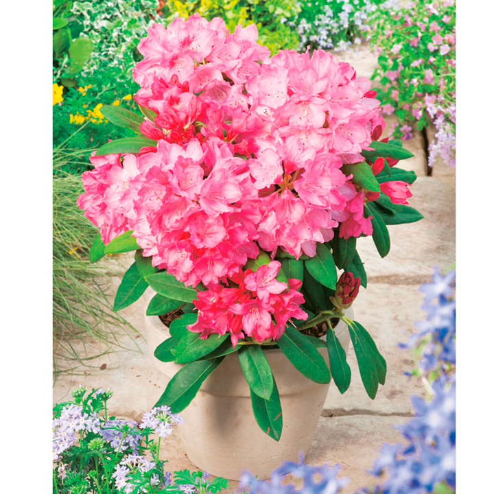Rhododendron Plant - Yak Sneezy