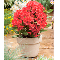 Rhododendron Plant - Dopey