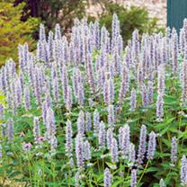 Agastache Plant - Blue Fortune