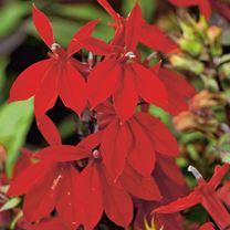 Lobelia Plant - Starship Scarlet