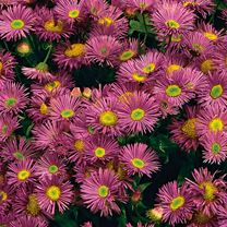 Erigeron Rose Jewel 2Ltr
