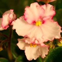 Saintpaulia Plant - B-Man's Taormina