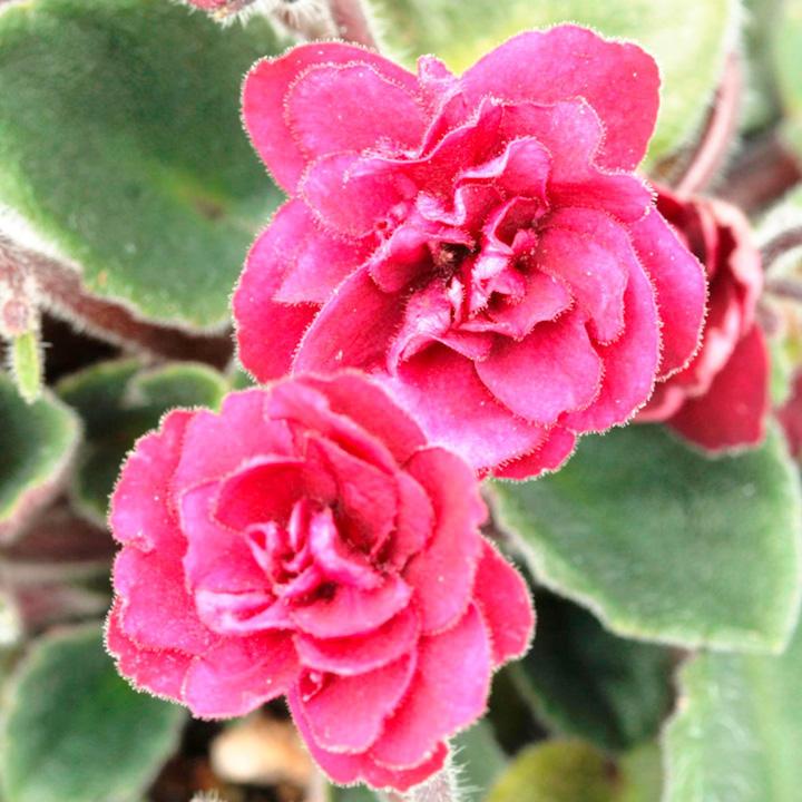 Saintpaulia Plant - Jolly Texan