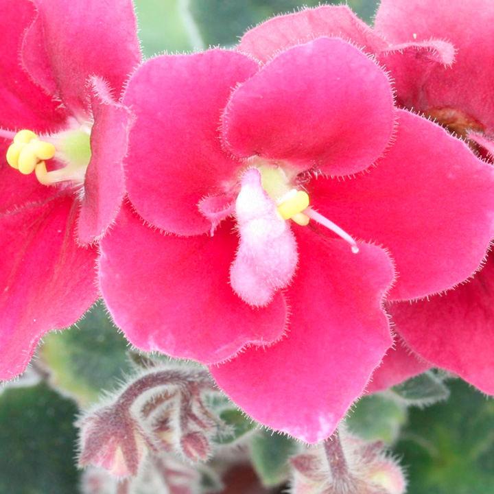 Saintpaulia Plant - Mac's Just Jeff