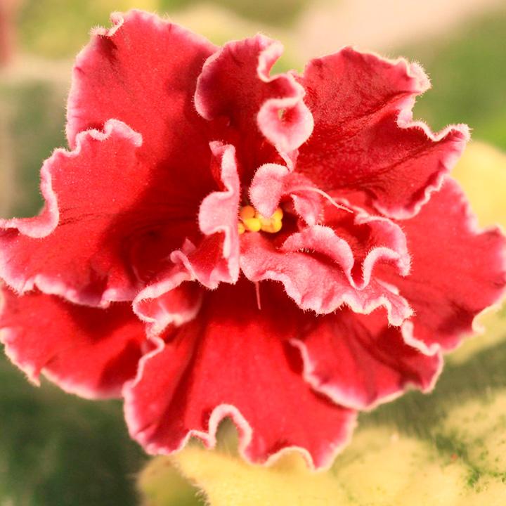 Saintpaulia Plant - Sparkleberry