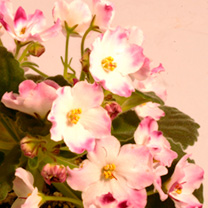 This standard variety has outstanding flowers. They are single and white with red-plum coloured patches. Flowers January-December. Height 11-20cm. GP