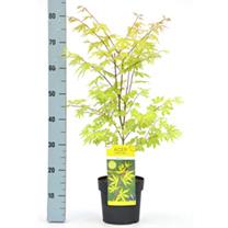 Acer Palmatum Plant - Anne Irene