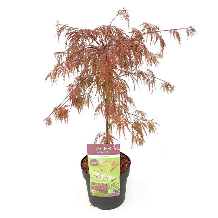 Acer Palmatum Plant - Inaba-Shidare