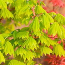 Click to view product details and reviews for Acer Plant Shirasawanum Aureum.