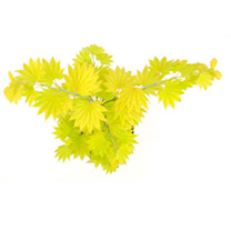 Click to view product details and reviews for Acer Shirasawanum Plant Aureum.