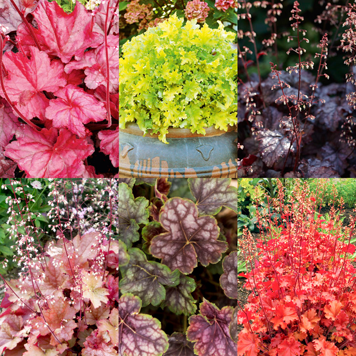 Heuchera Plants - Collection