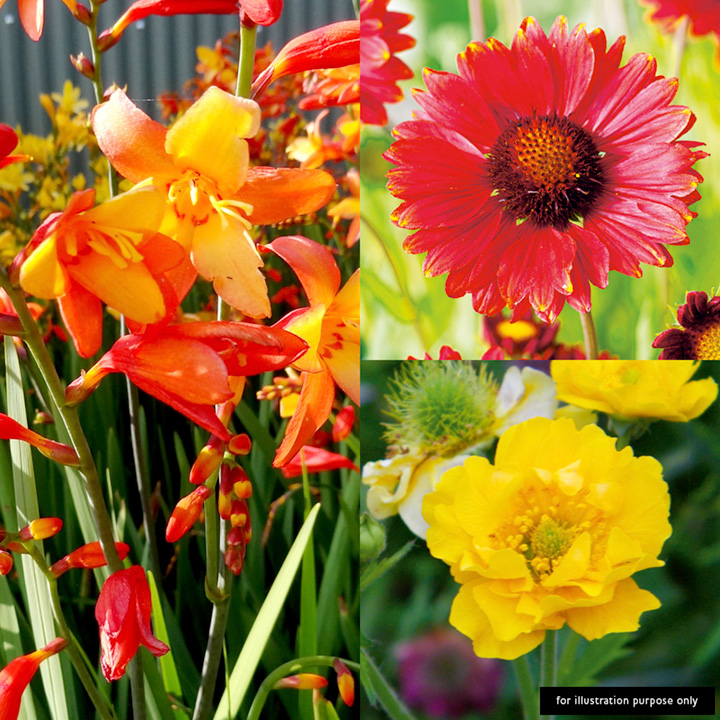 Perennial Hot Shades Plants - Collection