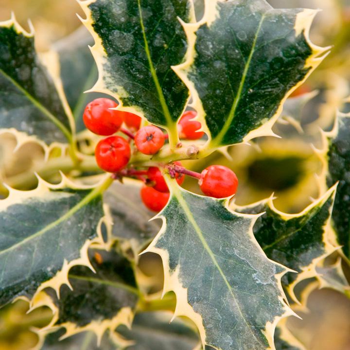 Ilex Plant - Argentea Marginata