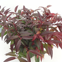 Leucothoe Plant - Royal Ruby