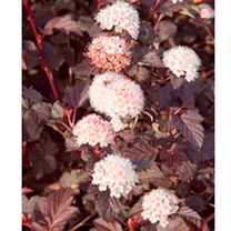 Physocarpus opulifolius Plant - Lady in Red