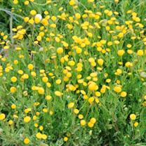 Cotula coronopifolia Plants
