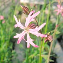 Lychnis flos-cuculi Plant