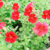 Mimulus curpreus Plant - Red Emperor