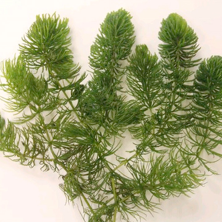 Ceratophyllum Demersum Plants