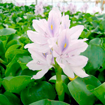 Eichhornia crassipes Plants - Major