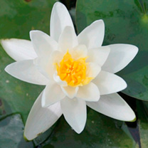 Nymphaea Plant - Alba