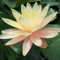 Nymphaea Plant - Barbara Dobbins