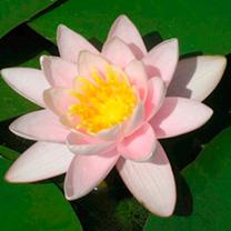Nymphaea Plant - Marliacea Carnea