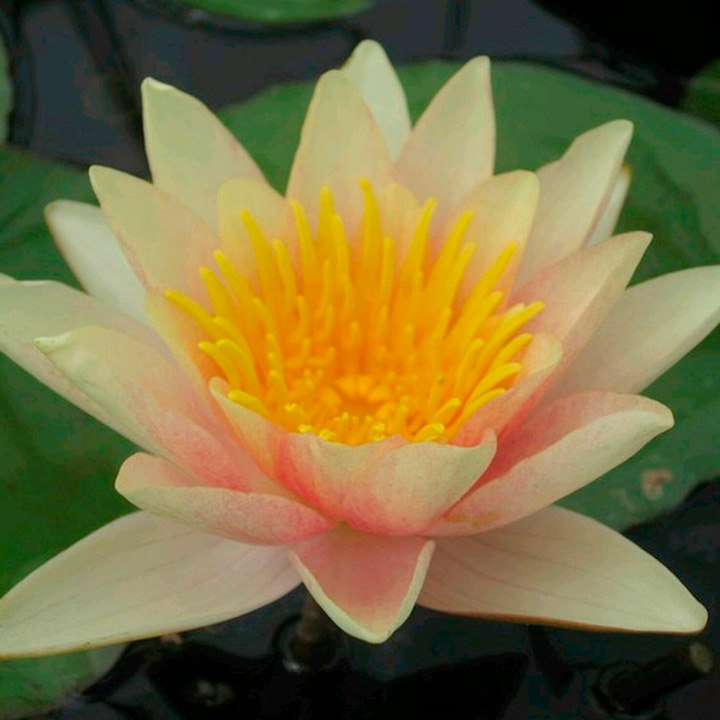 Nymphaea Plant - Paul Hariot