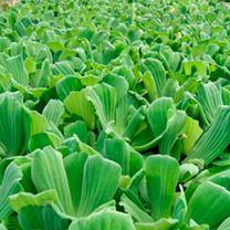 Pistia stratiotes Plants