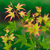Acer palmatum Plant - Little Princess