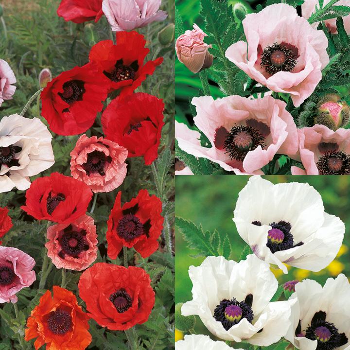 Poppy Mixed Plants