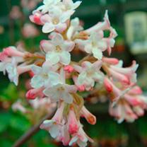 Viburnum Plant - Dawn