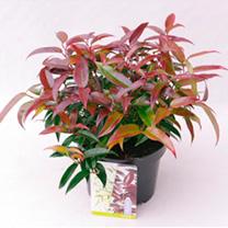 Leucothoe Plant - Carinella