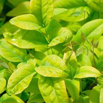 Nandina Plant - Firepower