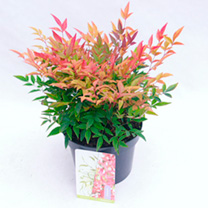 Nandina Plant - Gulfstream