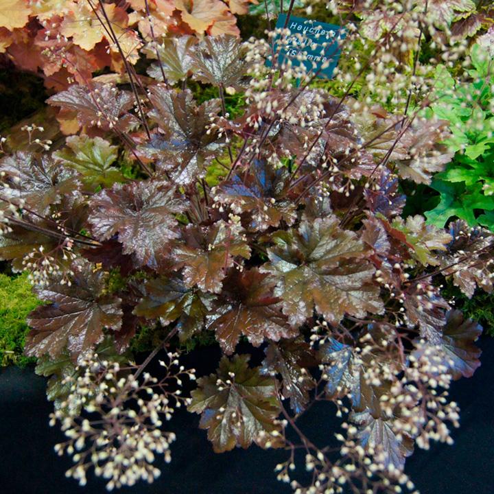 Heuchera Plant - Metallic Shimmer