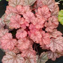 Heuchera Plant - Pauline
