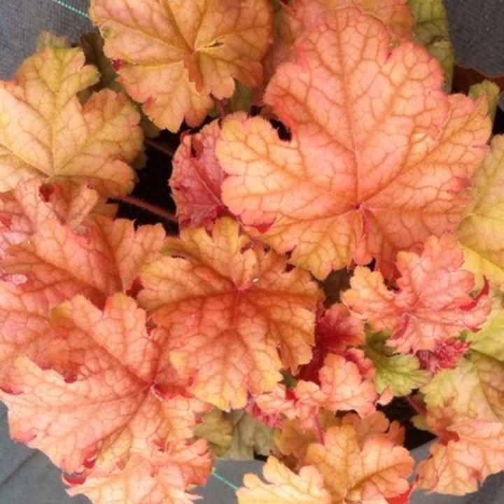 Heuchera Plant - Phoebe's Blush