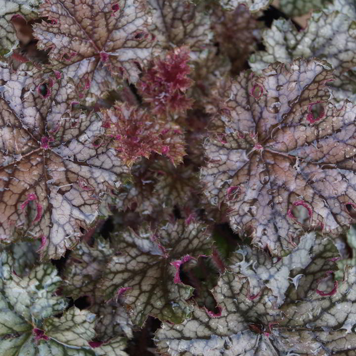 Heuchera Plant - Silver Celebration