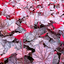Heuchera Plant - Slater's Pink