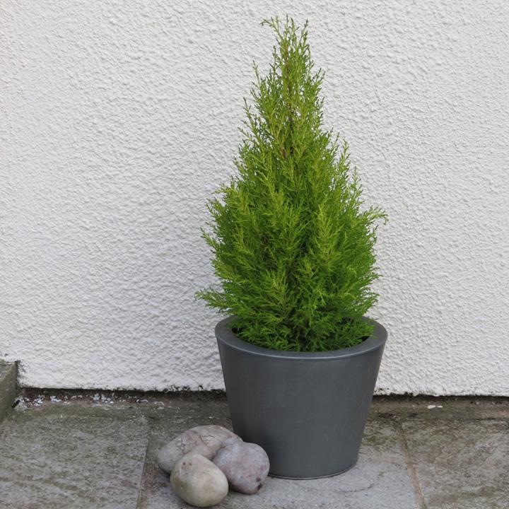 Cupressus Plant - Wilma