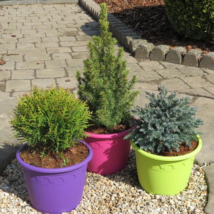 Picea Plant - Albertiana Conica