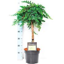 Conifer Plant - Juniperus conferta Schlager