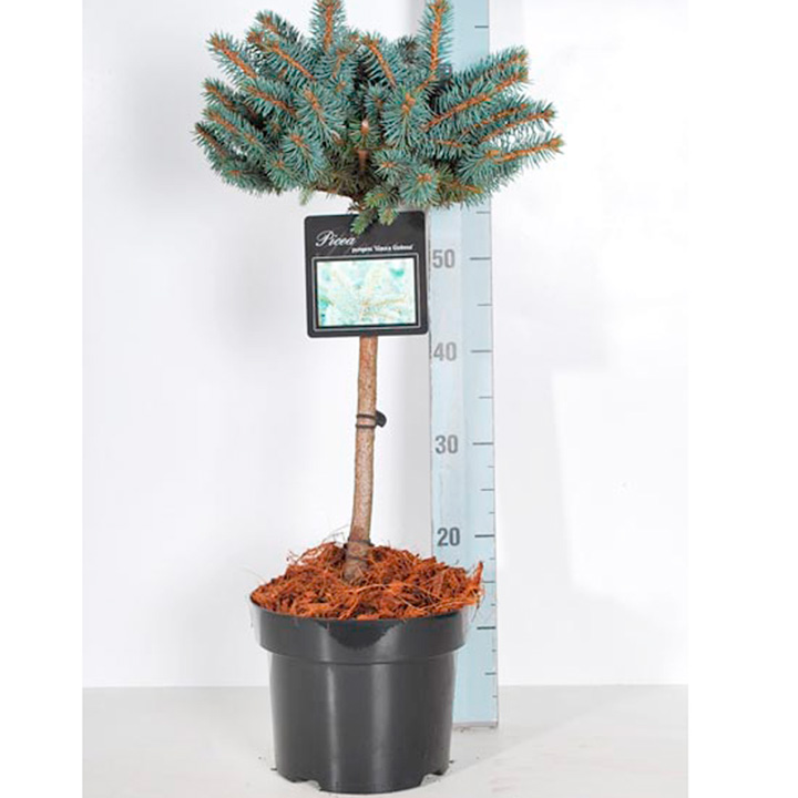 Conifer Plant - Picea pungens Glauca Globosa
