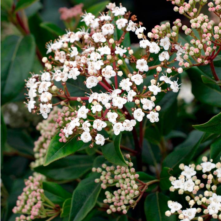 Viburnum Plant - Eve Price